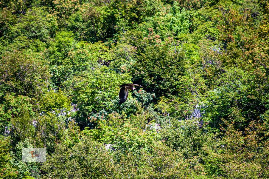 Lago di Cornino, grifone in volo - Turista a due passi da casa